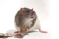 Rat with money